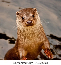 A European Otter (Lutra lutra) swimming in a stream in Scotland. This animal was photographed in captivity.