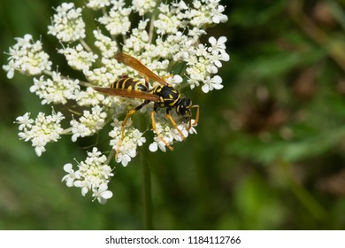 European Paper Wasp collecting nectar from a white Wild Carrot flower. Also known as a Yellow Jacket. Todmorden Mills Park, Toronto, Ontario, Canada.