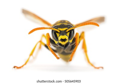 European paper wasp on white background.  Photographed in Montana, USA.