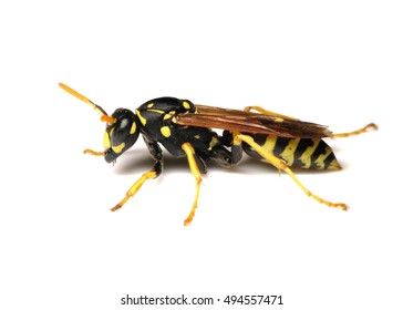 European Paper Wasp (Polistes eominula) isolated on a white background