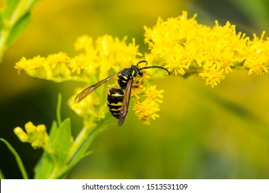 European paper wasp, probably Polistes dominulus, on goldenrod at The Fells in Newbury, New Hampshire.