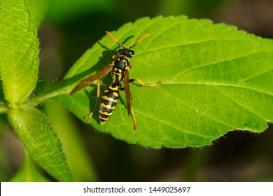 European Paper Wasp resting on a green leaf. Also known as a Yellowjacket. Taylor Creek Park, Toronto, Ontario, Canada.