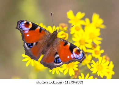 The European Peacock (Aglais io) butterfly is colourful and found in Europe and temperate Asia as far east as Japan.
