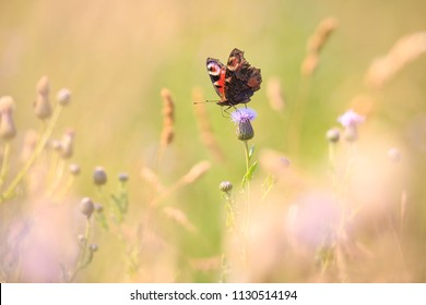 European Peacock butterfly (Aglais io) feeding of flowers in a colorful meadow.