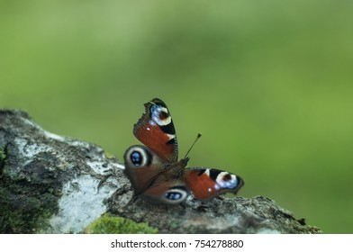 European peacock butterfly (Aglais io) perching on a tree. Nice geen background. Copy space