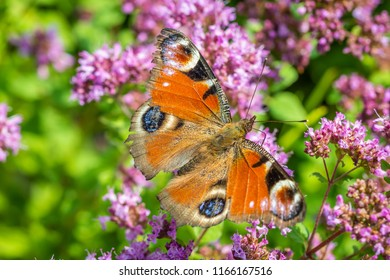 European peacock butterfly foraging on a flower