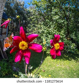 A European Peacock Butterfly perches on a red dahlia flower growing near private brick house in Moscow region Russia
