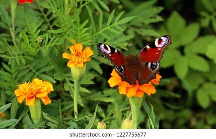 European peacock butterfly sits on orange flower Tagetes