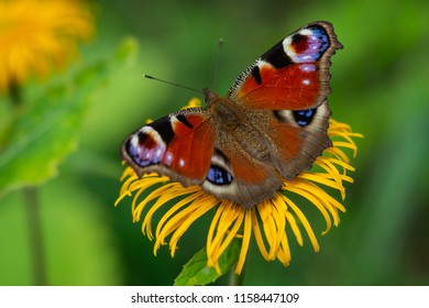 European Peacock butterfly sitting on a yellow flower with green background in a summer time and sunny day