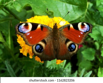 European peacock butterfly in the wild