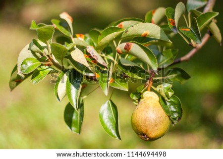 Pear Rust Images