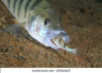European perch fish (Perca fluviatilis) eats a little fellows