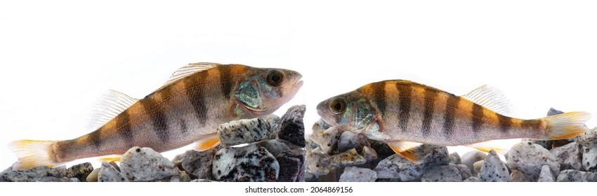 The European perch (Perca fluviatilis),  the common perch, redfin perch