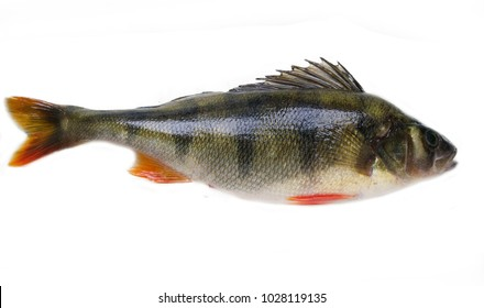 European perch (Perca fluviatilis) Fish isolated on white background