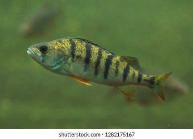 European perch (Perca fluviatilis). Freshwater fish.
