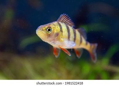 European perch (Perca fluviatilis), a predatory freshwater fish