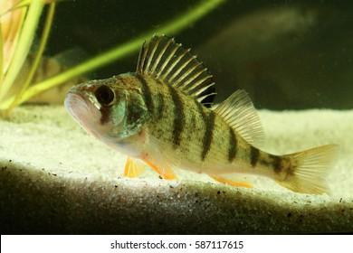 European perch Perca fluviatilis svimming in the pond