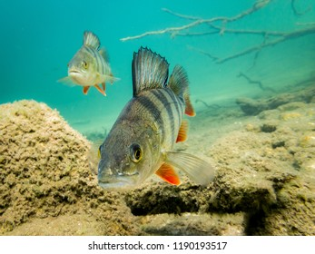 European perch (Perca fluviatilis) swimming towards camera. Underwater close-up shot.