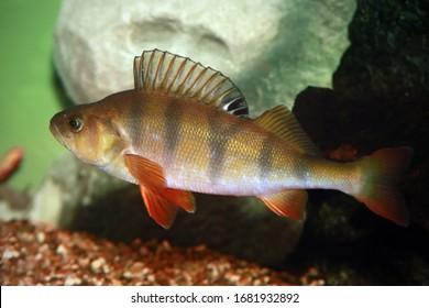 European perch - Perca fluviatilis. Underwater shot of mature perch fish svimming in the pond