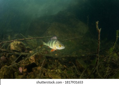 European perch swim in the water. Scuba diving among fish. Nice perch on the bottom. Perch in the lake. Scuba diving in the fresh water.