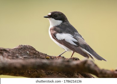 European Pied Flycatcher (Ficedula hypoleuca). Female of this small passerine bird sitting on a branch. Black head, black wing with white details, brown diffused background. Scene from wild nature.