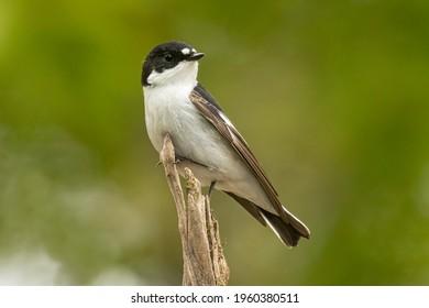 European pied flycatcher in the forest