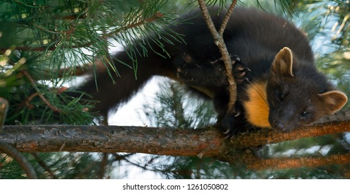 The European pine marten (Martes martes), known most commonly as the pine marten in Anglophone Europe, and less commonly also known as pineten, baum marten, or sweet marten