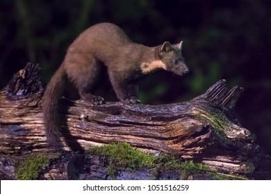 European pine marten (Martes martes) perched on log at night