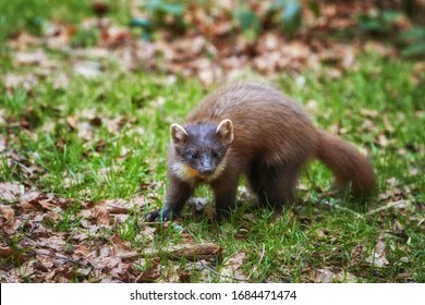 European pine marten, Martes martes, slender forest beast in spring forest. European forest animal in ist typical environment. European highland biotope and its animals.