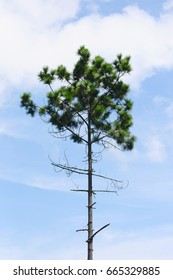 European pine tree  with blue sky background