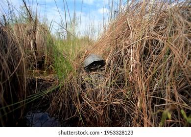 The European pond turtle in the reised bogs in Ukraine - Shutterstock ID 1953328123