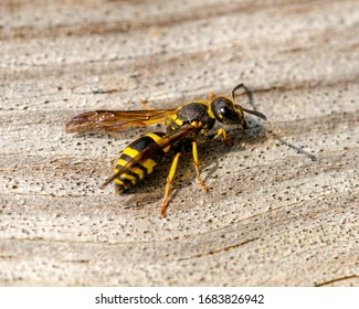 The European potter wasp or European tube wasp (Ancistrocerus gazella) is a species of potter wasp.