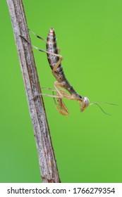 European praying mantis -  (Mantis religiosa)
