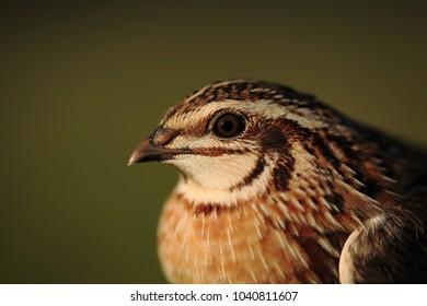 European quail portrait