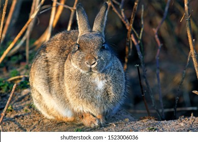 European Rabbit (Oryctolagus cuniculus) basking in the morning light in front of the burrow's entrance