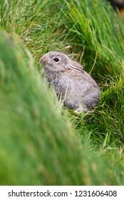 European Rabbit - Oryctolagus cuniculus, cute small mammal from European meadows and grasslands, Shetlands, UK.