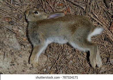 European rabbit (Oryctolagus cuniculus). Young dead. Integral Natural Reserve of Inagua. Tejeda. Gran Canaria. Canary Islands. Spain.