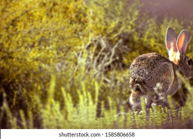 European rabbit scientifically known as Oryctolagus cuniculus running in the Spanish forest