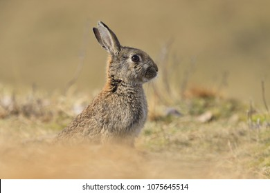European rabbit  sitting on the dry grass.  Oryctolagus cuniculus. Wildlife scene from nature. Portrait of a European  rabbit.