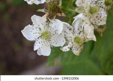 European raspberry (Rubus idaeus) white flowers