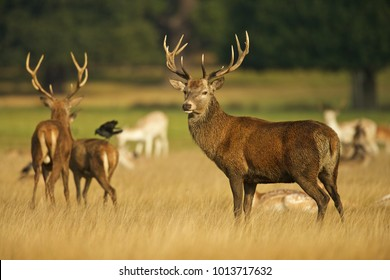 European Red Deer (Cervus elaphus). Autumn, England