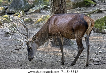 latin name for red deer