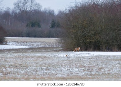 European red fox couple on a snowy meadow at the forest edge