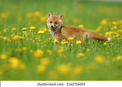 European Red Fox (Vulpes vulpes) Vixen on the grass with yellow flowers