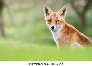 European red fox in the wild
