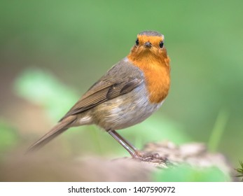 European red robin (Erithacus rubecula) perched on log with bright background in garden