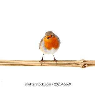 European red robin ( erithacus rubecula) perching on a branch, isolated on white
