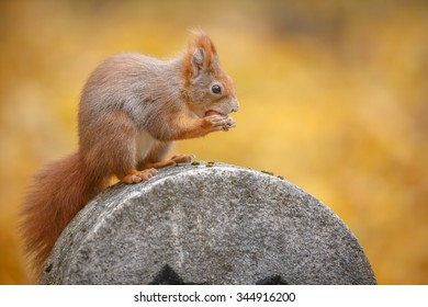 European (red) squirrel in a city park