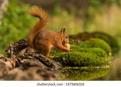 European Red Squirrel in the forest