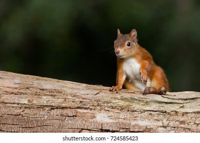 European Red Squirrel (sciurus vulgaris) In beautiful natural setting, Brownsea Island, Poole, UK